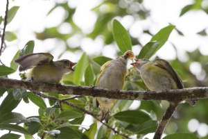 Family of Yellow-throated Euphonias