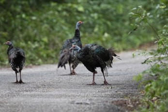 Flock of Ocellated Turkey crossing the road to Calakmul