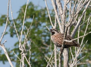 Black-throated Bobwhite