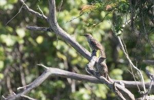 A pair of endemic Yucatan Wrens