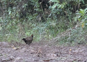 Black-fronted Wood-Quail!