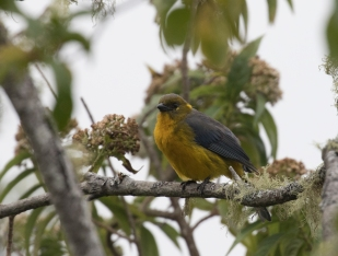 """Perija"" Lacrimose Mountain-Tanager"