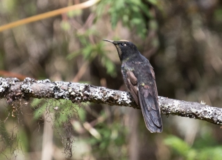 male Black-backed Thornbill