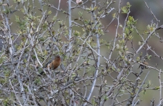 A very isolated population of Rufous-browed Conesbills live here