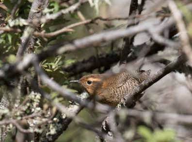 Santa Marta Wrens always did a great job of keeping at least one branch between us...