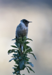 The first female Blue-bearded Helmetcrest to appear for the morning