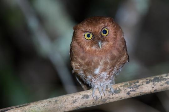 Santa Marta Screech-Owl!