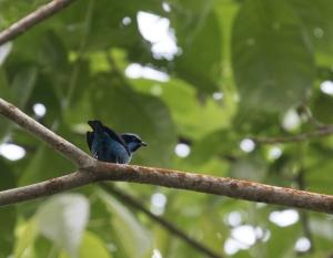 Turquoise Dacnis