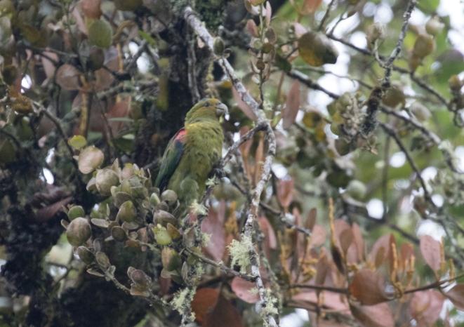 Fuerte's Parrot!