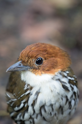 Chestnut-crowned Antpitta at the first feeding station