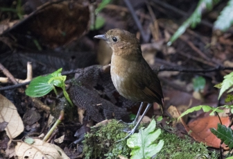 Brown-banded Antpitta at the second feeding station