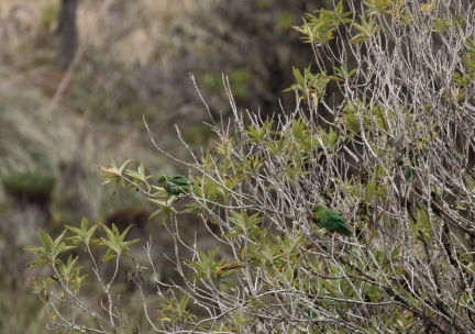 Rufous-fronted Parrot