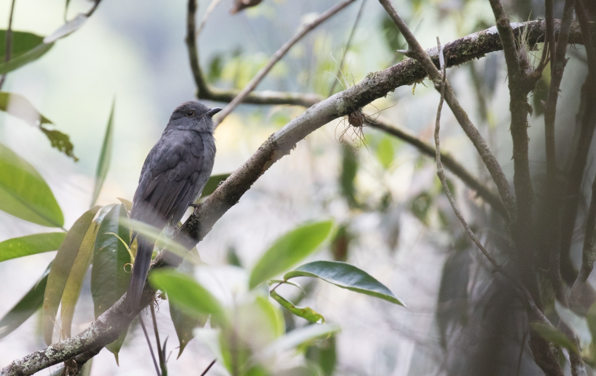 Birding Colombia: Chestnut-capped Piha Reserva, La Romera, Jardin