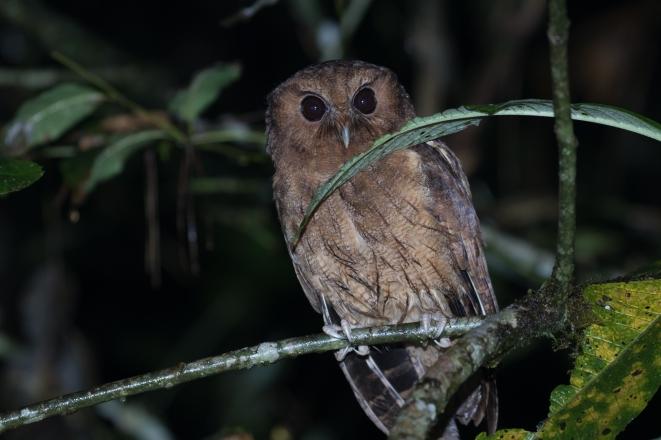 Colombian Screech-Owl