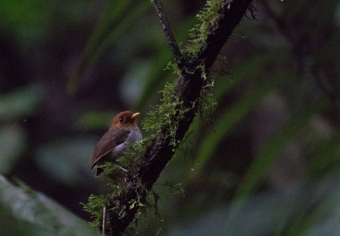 Hooded Antpitta!