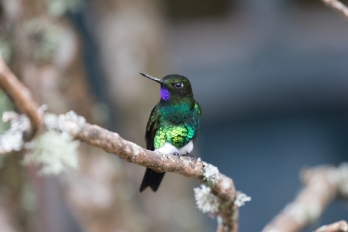 Glowing Puffleg