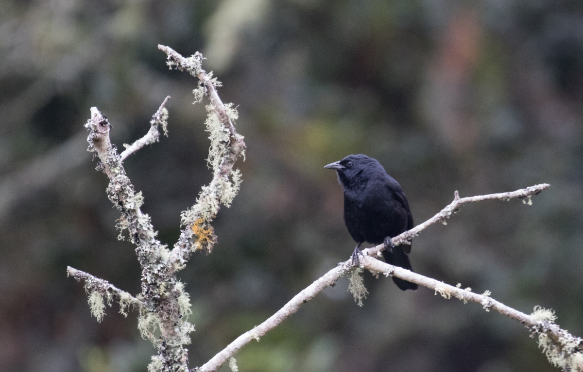 Birding Colombia: 4 days around Bogota and Soata