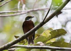 Yellow-crowned Manakin