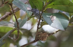 Our first Cherrie's Antwren building a nest