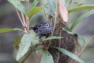 Cherrie's Antwren building a nest