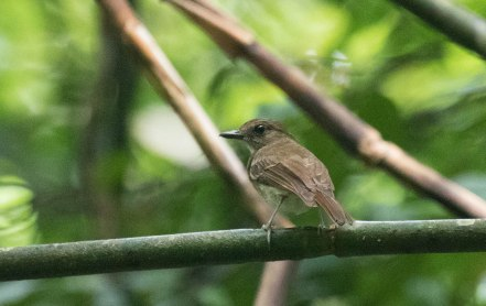 White-throated Jungle-Flycatcher