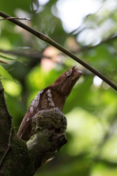 Philippine Frogmouth on its nest