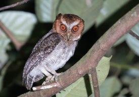Negros Scops-Owl