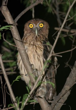 The star of the night, Philippine Eagle-Owl
