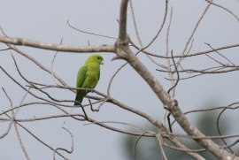 Endemic Parrots were seen flying daily