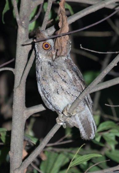 A camera-shy Owl