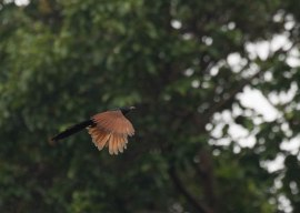 Philippine Coucal