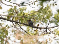 Slaty Cuckoo-Dove