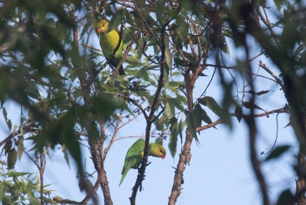 Olive-headed Lorikeets