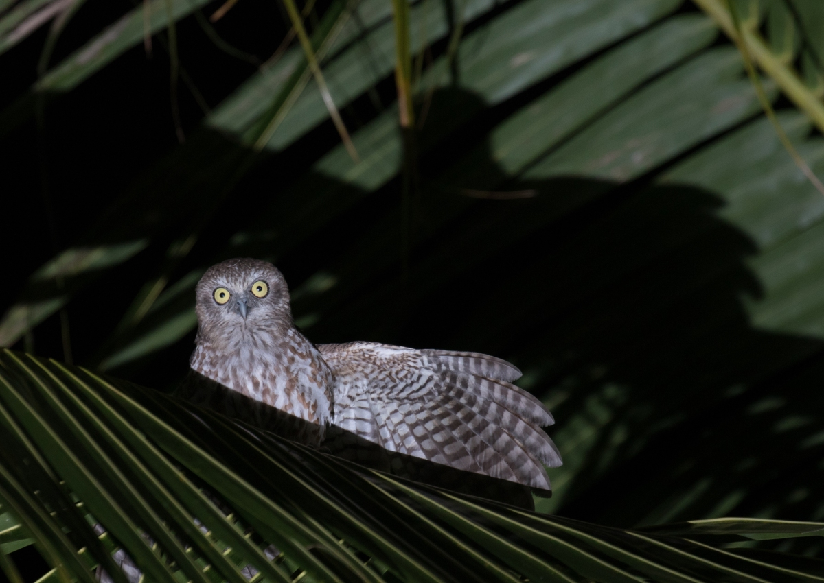 Rote - Indonesia - And the Most Cooperative Owl to Date