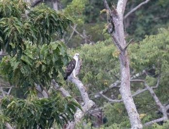 Flores Hawk Eagle