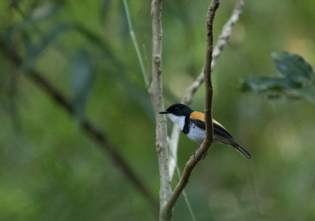 Black-banded Flycatcher