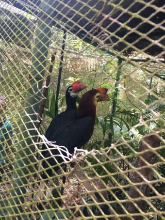 These Walden Hornbills are in a cage at Sibaliw Station, luckily we also saw a wild one!