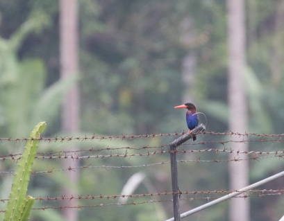 Javan Kingfisher