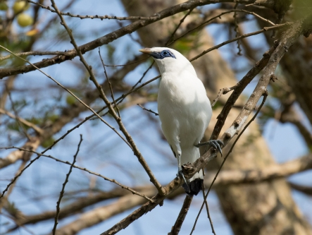 The ever-stunning Bali Myna