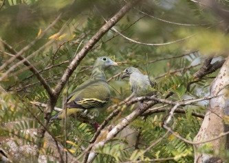 Gray-cheeked Green Pigeon