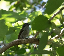 Flores Warbling-Flycatcher