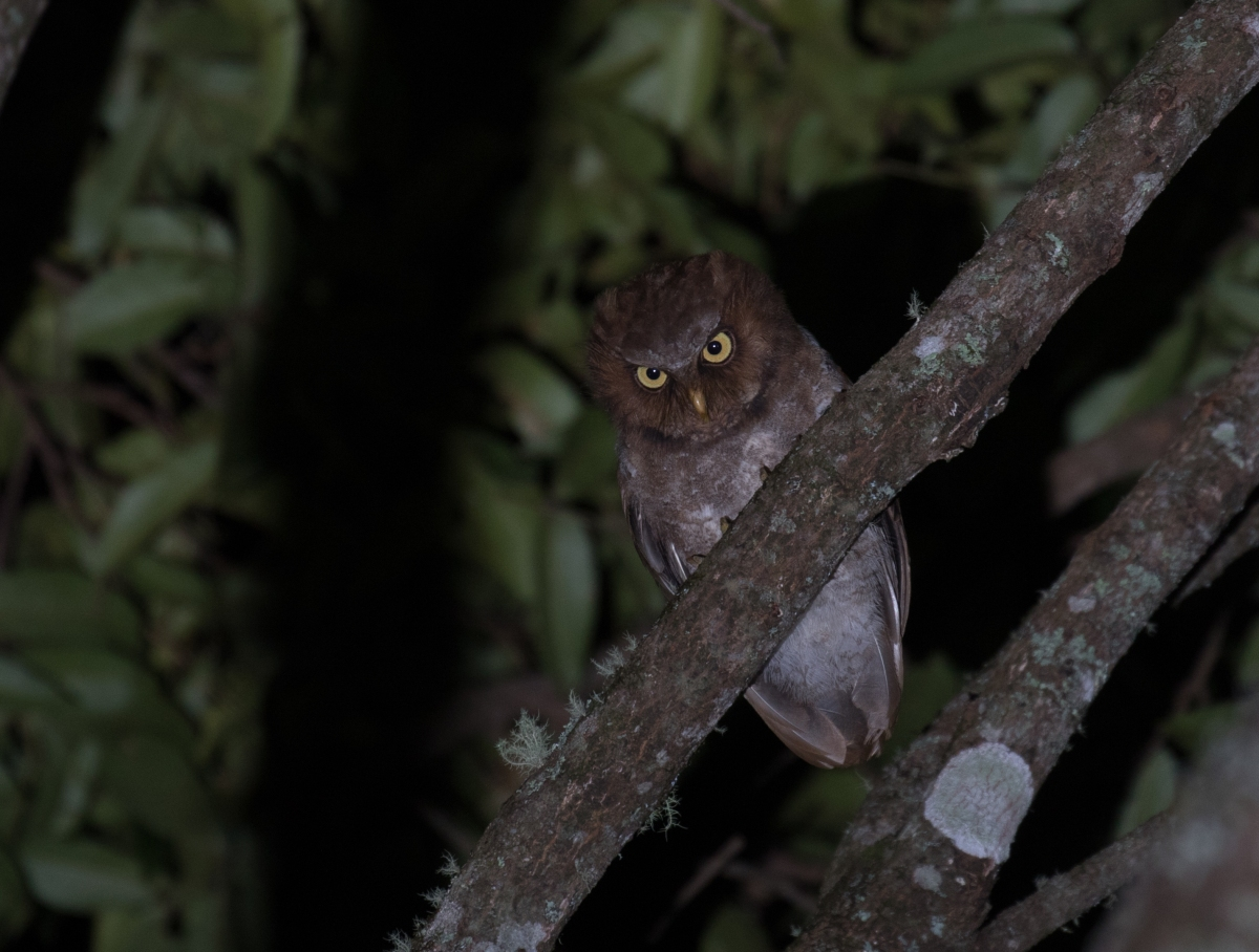 Flores - Indonesia - Friendly Little Owls