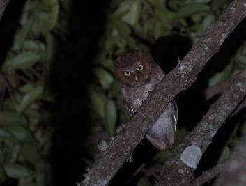 Flores Scops-owl