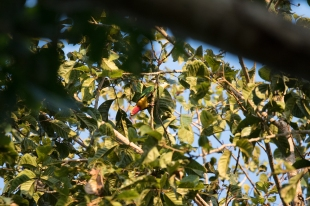 Male Black-naped Fruit-dove