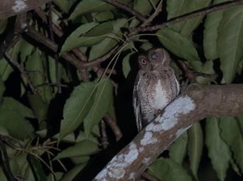 Wallace's Scops-owl