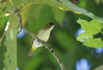 Halmahera White-eye