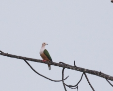 Cinnamon-bellied Imperial-Pigeon