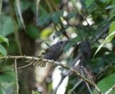 White-streaked Friarbird