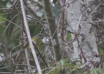 North Moluccan Leaf-Warbler!