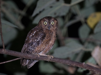 But don't worry, most are! Moluccan Scops-Owl